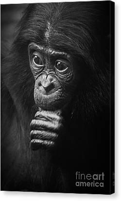 Canvas Print featuring the photograph Baby Bonobo Portrait by Helga Koehrer-Wagner