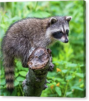 Canvas Print featuring the photograph Baby Racoon by Paul Freidlund