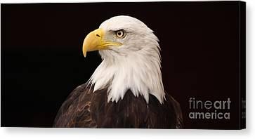 Bald Eagle Canvas Print by David Warrington