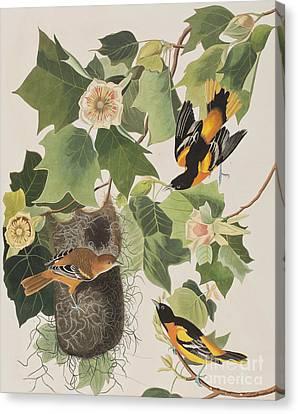 Oriole Canvas Print - Baltimore Oriole by John James Audubon