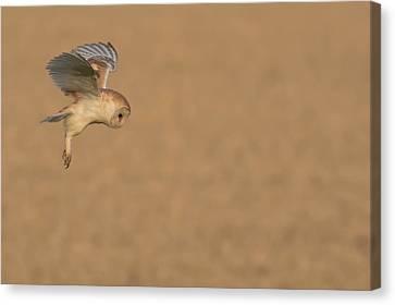 Hunting Bird Canvas Print - Barn Owl  by Ian Hufton