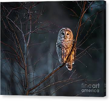 Barred Owl Canvas Print by Benjamin Williamson