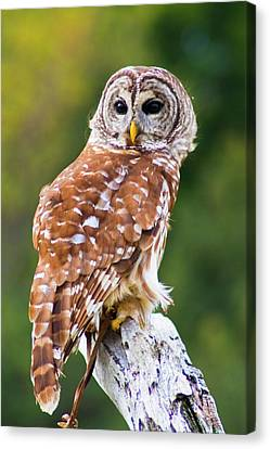 Barred Owl Canvas Print by Bill Barber