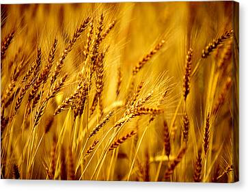 Fiber Canvas Print - Bearded Barley by Todd Klassy