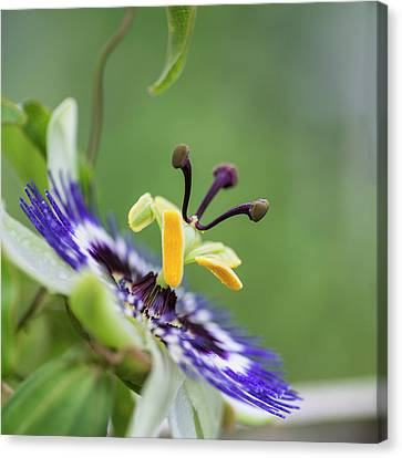 Passiflora Canvas Print - Beautiful Close Up Image Of Passion Flower On The Vine by Matthew Gibson