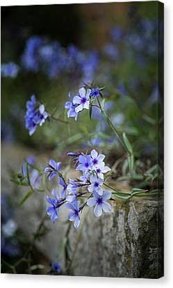 Beautiful Image Of Wild Blue Phlox Flower In Spring Overflowing  Canvas Print