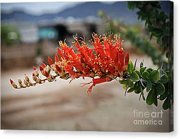 Canvas Print featuring the photograph Beautiful Ocotillo by Robert Bales