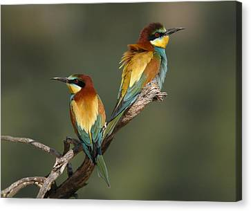 Bee-eater Canvas Print by Perry Van Munster