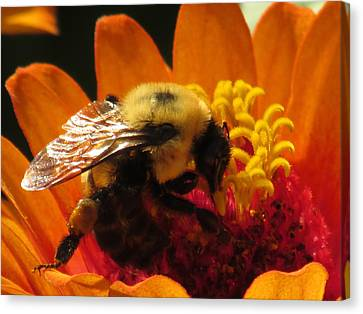 Bee With Zinnia Canvas Print