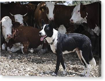 Cattle Dog Canvas Print - Beef Cattle Breeding by PhotoStock-Israel