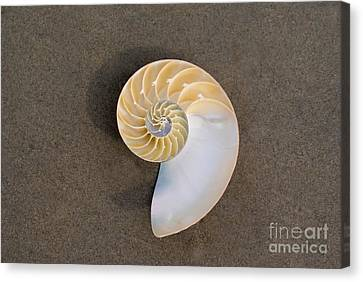 Bellybutton Nautilus - Nautilus Macromphalus Canvas Print by Anthony Totah