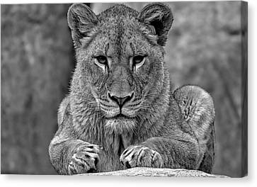 Big Cat Lion Collection Canvas Print by Marvin Blaine