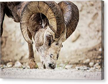 Big Horn Using A Mineral Lick Canvas Print by Scott Pellegrin