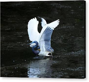Bird Brawl Canvas Print