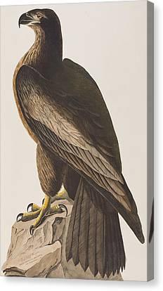 Bird Of Washington Canvas Print by John James Audubon