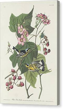 Black And Yellow Canvas Print - Black And Yellow Warbler by Dreyer Wildlife Print Collections
