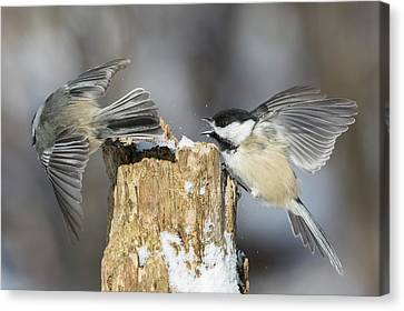 Canvas Print featuring the photograph Black-capped Chickadee In Winter by Mircea Costina Photography