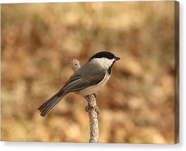 Canvas Print featuring the photograph Black-capped Chickadee On Branch by Sheila Brown