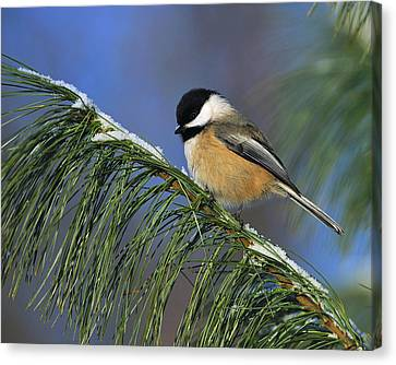 Black-capped Chickadee Canvas Print by Tony Beck