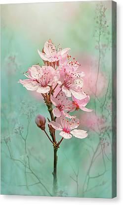 Black Cherry Plum Blossom Canvas Print by Jacky Parker
