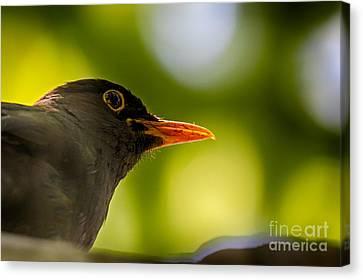 Blackbird Canvas Print by Jivko Nakev