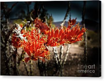 Blooming Ocotillo Canvas Print by Robert Bales