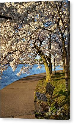 Blossoming Cherry Trees Canvas Print by Brian Jannsen