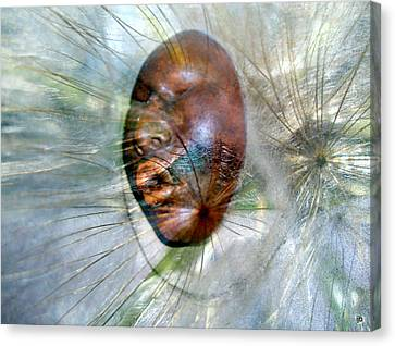 Blowing Dandelions Canvas Print by Irma BACKELANT GALLERIES