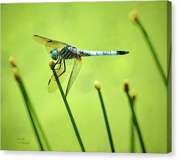 Blue Dasher Dragonfly Canvas Print by Sandi OReilly