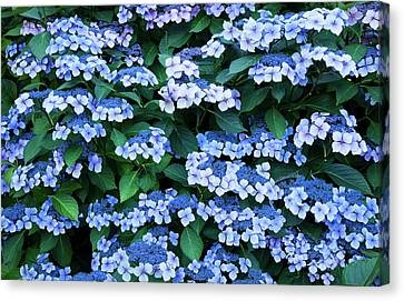 Canvas Print featuring the photograph Miksang 12 Blue Hydrangea by Theresa Tahara