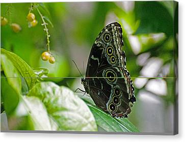 Blue Morpho Butterfly Canvas Print by Cheryl Cencich