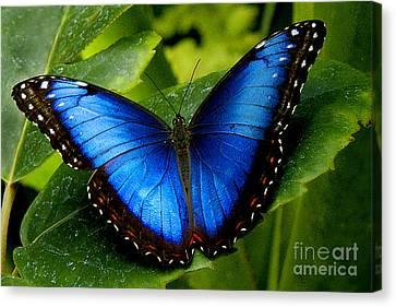 Butterflies Canvas Print - Blue Morpho by Neil Doren