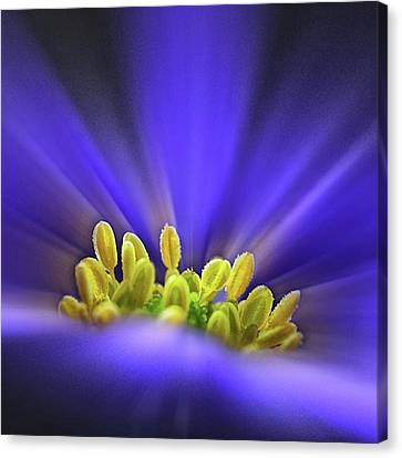 blue Shades - An Anemone Blanda Canvas Print by John Edwards
