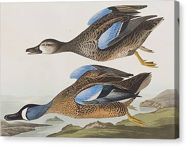 Blue Winged Teal Canvas Print by John James Audubon