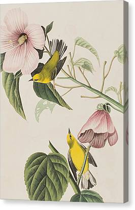 Blue-winged Yellow Warbler  Canvas Print by John James Audubon