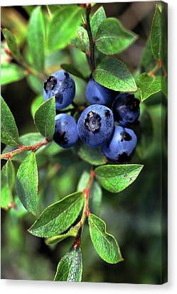 Blueberries Canvas Print by Bill Morgenstern