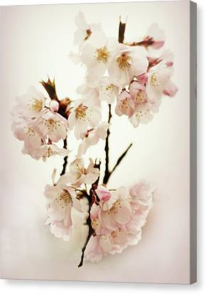 Canvas Print featuring the photograph Blushing Blossom by Jessica Jenney