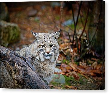 Bobcat Canvas Print by Jim DeLillo