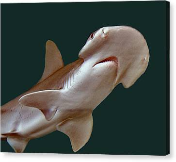 Bonnethead Shark Canvas Print