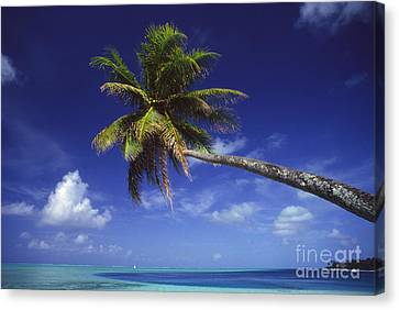 Bora Bora, Palm Tree Canvas Print by Ron Dahlquist - Printscapes