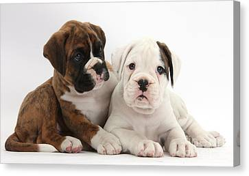 Boxer Puppies Canvas Print by Mark Taylor