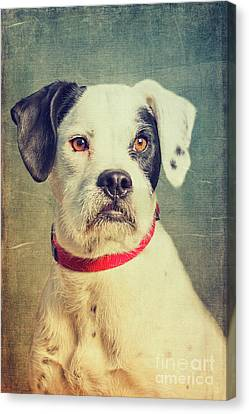 Boxer Canvas Print - Boxer-schnautzer-mix by Angela Doelling AD DESIGN Photo and PhotoArt