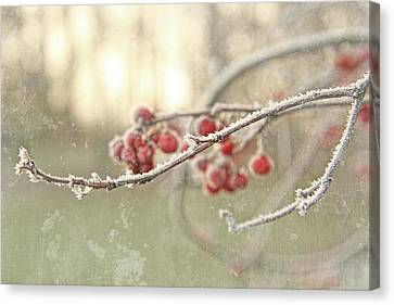 Branches With Early Winter Frost With Red Berries Canvas Print by Sandra Cunningham