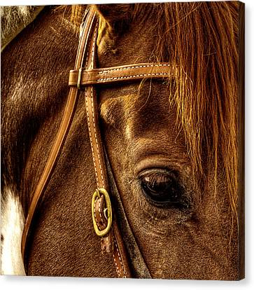 Bridled Canvas Print by David Patterson