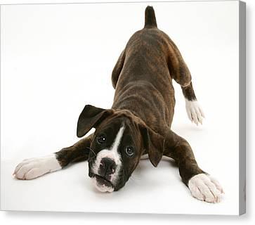 Brindle Boxer Pup Canvas Print by Jane Burton