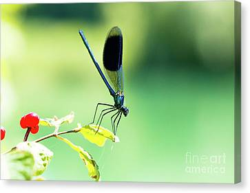 Broad-winged Damselfly, Dragonfly Canvas Print
