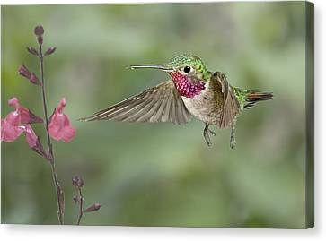 Broadtail Hummingbird And Salvia Canvas Print by Gregory Scott