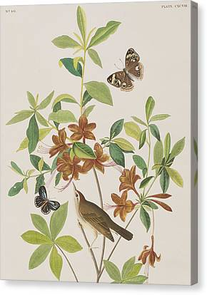 Brown Headed Worm Eating Warbler Canvas Print by John James Audubon