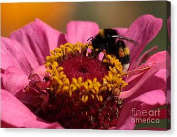 Buff-tailed Bumblebee On Zinnia Elegans Canvas Print