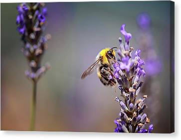 Bumblebee And Lavender Canvas Print